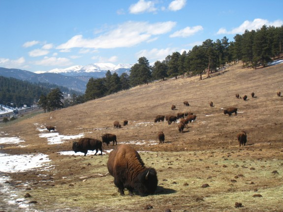 Big old bison.